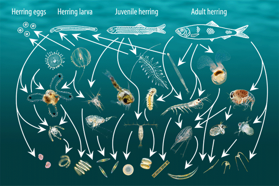 The plankton food web with respect to the herring, a fish that feeds on plankton throughout its life. Diagram based upon an original idea by Sir Alister Hardy FRS