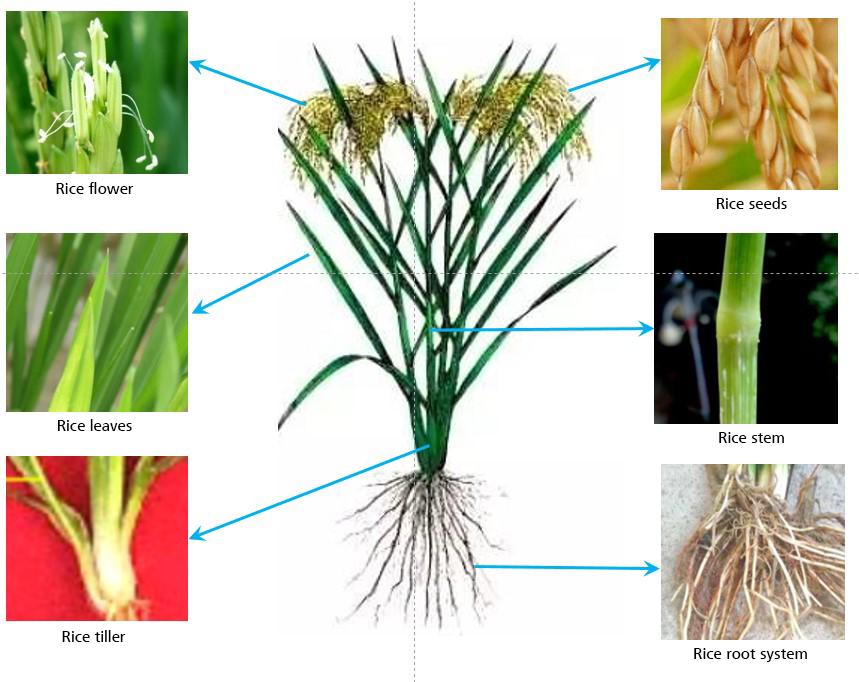 Aschematic map of different positions of rice