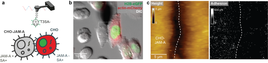 Figure 2: Probing reovirus binding to CHO cells expressing JAM-A. (a) Cartoon of the experiment highlighting that CHO cells (having no JAM-A) are fluorescently labeled. (b) Confocal image showing an AFM tip on the top of two adjacent cells expressing or not JAM-A receptors. (c) FD-based AFM height image and corresponding adhesion channels. The adhesion map reveals that most adhesion (bright pixels) are localized on the cells expressing JAM-A receptors.