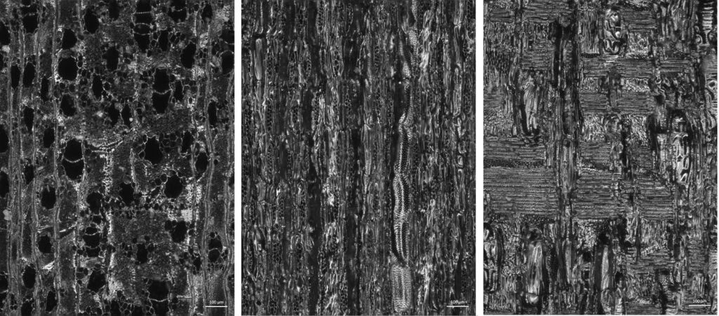 Charcoal fragments of the species Handroanthus chrysotrichus, Bignoniaceae family. Three planes of wood: from left to right: transverse plane, tangential longitudinal plane, radial longitudinal plane. Imaged using darkfield microscopy. Image credit: Taís Capucho