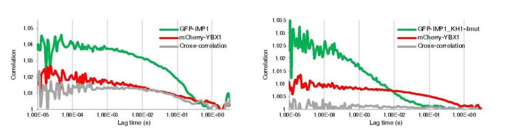 Fluorescence Cross-Correlation Spectroscopy (FCCS) cytoplasmic measurement of HeLa cells co-transfected with GFP-IMP1 (green autocorrelation curve) and mCherry-YBX1 (red autocorrelation curve) showing in vivo interaction between the two RNA-binding proteins (positive cross-correlation curve). When a RNA-binding impaired IMP1 mutant is used (IMP1_KH1-4mut), cross-correlation with YBX1 is negative (right graph).