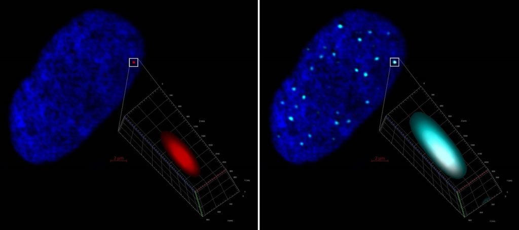 Left, ZEISS LSM 880 Airyscan 2D projection of a human fibroblast cell nucleus (stained with DAPI, blue) harboring a click chemistry red labelled HSV-1 genome further detailed in 3D. Right, same image evidencing colocalization and entrapment of the HSV-1 genome by PML immunostaining (cyan). Mila Collados Rodríguez, CVR-University of Glasgow, UK.