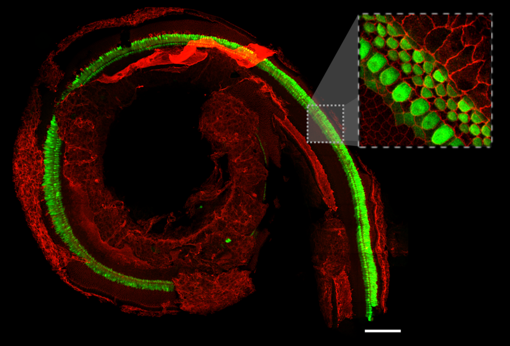 Confocal image of the entire sensory epithelium from an E16.5 cochlea. Cellular boundaries and hair cells are marked with Cy3 and EGFP fluorescent markers, respectively. The image is a maximum intensity projection of stitched optically sectioned tiles. A single z-plane zoomed-in region is shown in the gray box. The image was taken with a ZEISS confocal with Airyscan detector using a 63x oil-immersion objective. Scale bar: 100 microns.