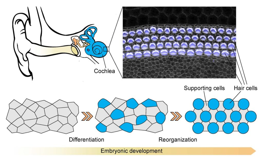 Embryonic development of the organ of Corti. Upper right image is a neonatal organ of Corti stained with a fluorescent marker for actin. Hair cells and stereocilia are artificially marked in cyan and white respectively. The image shows the final pattern of hair cells and supporting cells in the organ of Corti. The image was taken with ZEISS confocal using a 63x oil-immersion objective.