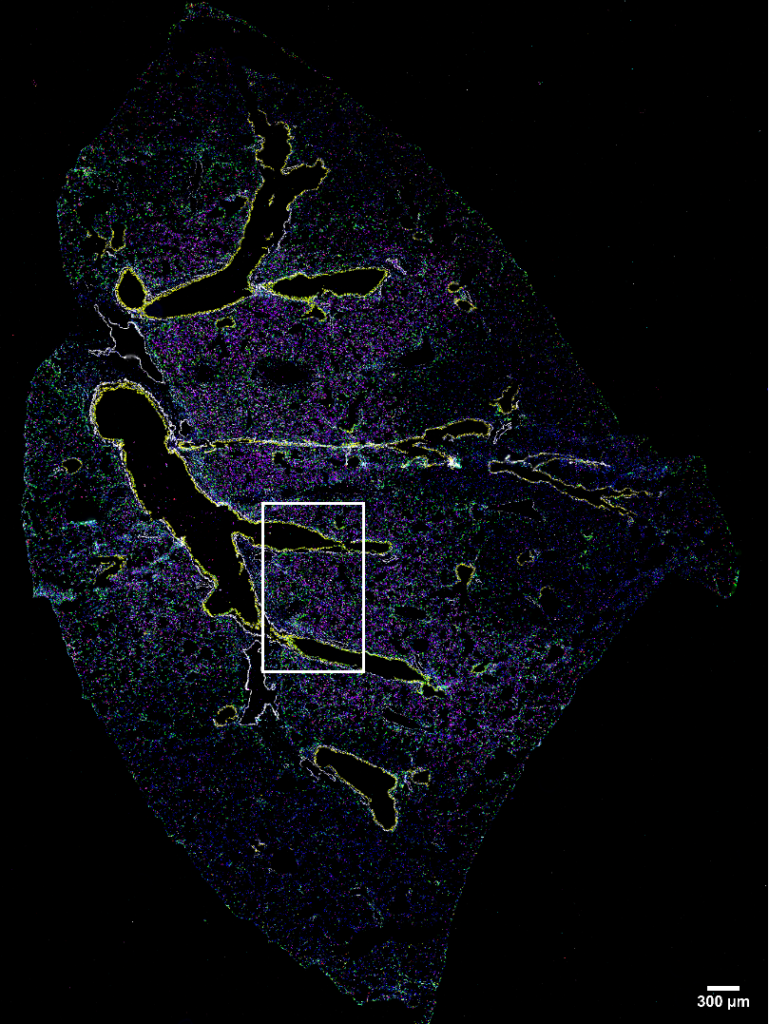 Mouse Lung Imaged with 37 antibody codex panel