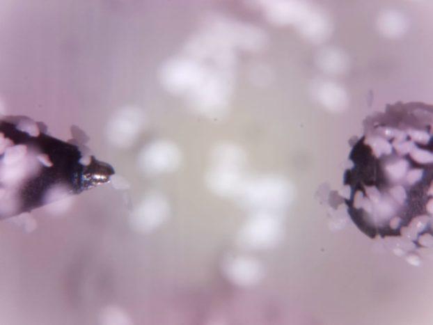 Eines der ersten Bilder, dass das Team in Frankfurt von der Internationalen Raumstation ISS erhalten hat. Zu sehen sind die zwei Elektroden und die Staubkörner.