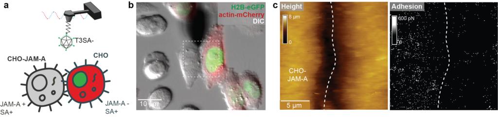 Abbildung 2: Untersuchung der Bindung von Reovirus an CHO-Zellen, die JAM-A exprimieren. (a) Schematische Darstellung des Experiments, in dem die fluoreszenzmarkierten CHO-Zellen (kein JAM-A aufweisend) hervorgehoben sind. (b) Konfokalmikroskopisches Bild, das eine AFM-Spitze auf der Oberfläche von zwei benachbarten Zellen zeigt, die JAM-A-Rezeptoren exprimieren bzw. nicht exprimieren. c) Kraft-Abstand-basiertes AFM-Höhenbild und entsprechende Adhäsionskanäle. Die Adhäsionskarte zeigt, dass sich die meisten Adhäsionskanäle (helle Pixel) auf den Zellen lokalisiert sind, die JAM-A-Rezeptoren exprimieren.