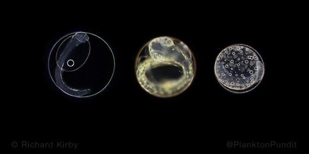 With good timing fish eggs appear in the spring plankton. When the larvae hatch they'll be surrounded by food.