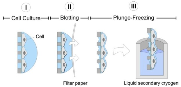 Fast-freezing of cells on EM grids by plunge-freezing into a secondary cryogen (e.g. ethane). The rapid freezing process vitrifies the cells, preserving them in amorphous ice.