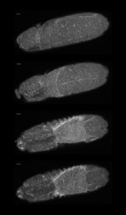 Single images of a time series. Drosophila embryo, maximum intensity projection. Microtubules labeled with GFP. Z-stack with 72 slices imaged for 11.5 h at 15 min interval. Courtesy of B. Erdi, Max F. Perutz Laboratories, University of Vienna, Austria