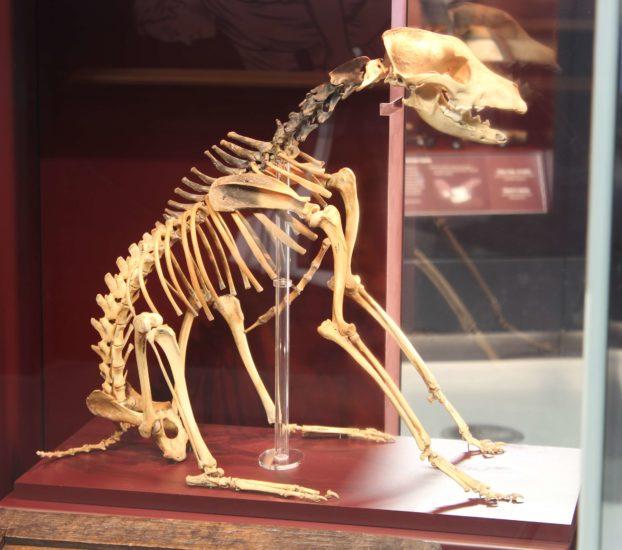 Dog Skeleton in Carpenter Showcase - (©Mary Rose Trust)